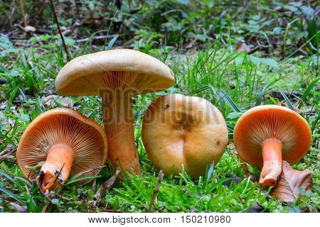 Lactarius deterrimus or False Saffron Milkcap mushrooms delicious edible mushrooms on a mos in natural habitat spruce forest early autumn shot