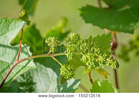 Blooming grape close-up on a background of leaves.