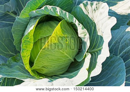 Organic Cabbage. Fresh Green Head Of Cabbage On The Field Ready To Harvest.