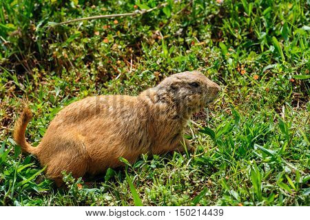 Brown furry gopher or marmot at green meadow