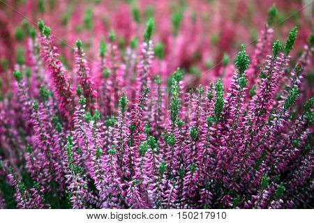 Blooming of beautiful heather flowers natural seasonal floral background
