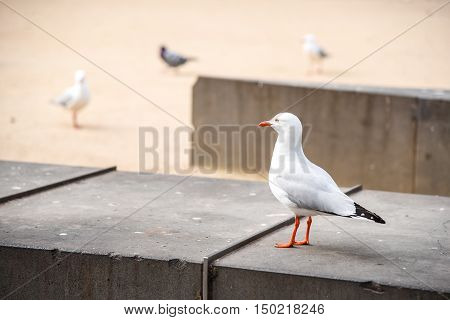 Seagull lovely white seabird standing on concrete bench in Melbourne city Australia