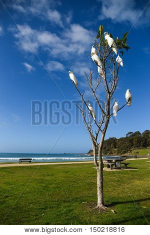 Group of white cockatoo perched on branch of tree at Lorne Beach (famous tourist attraction on the Great Ocean Road) with blue sky in background lovely wildlife animal in Australia