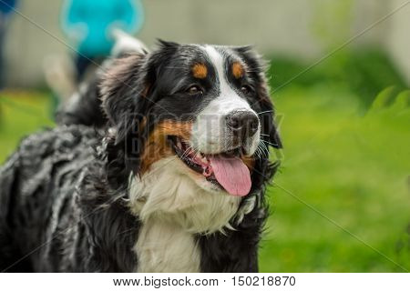 Beautiful face portrait of a dog Bernese Mountain Dog (Berner Sennenhund)