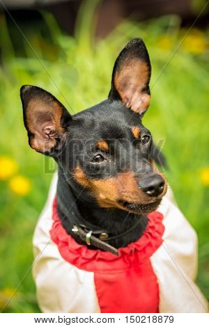 Muzzle Pincher Pinscher dog close up in jacket