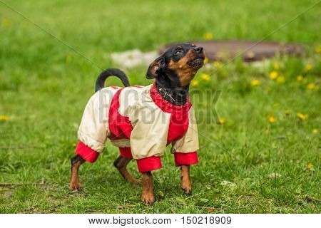 Funny Pinscher Pinscher in white and red jacket