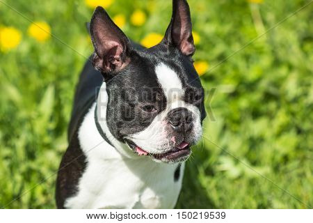 Close-up portrait of a Boston Terrier dog on a background of green grass