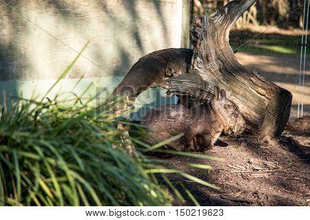 Australian wombat in moonlit sanctuary wildlife conservation park the native mammal animal in Australia
