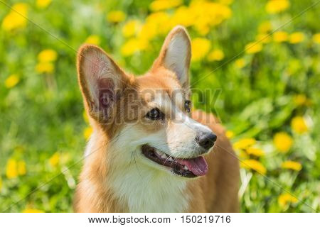 Beautiful portrait of a Welsh Corgi dog close-up on a background of a field of grass