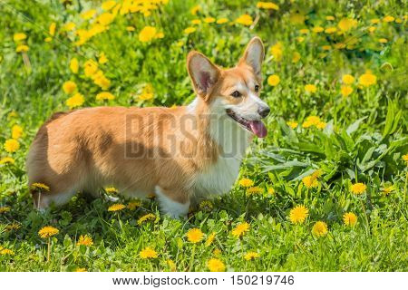 Red color Welsh corgi dog walking on the green summer grass