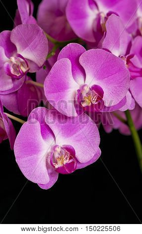 Closeup of blossoms of a pink orchid