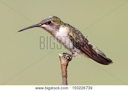 Juvenile Ruby-throated Hummingbird (archilochus colubris) on a perch with a green background