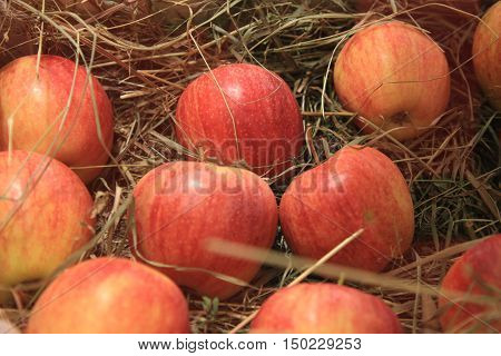 Ripe red apples in a basket with straw. Autumn photos