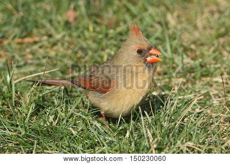 Female Northern Cardinal (cardinalis cardinalis) on a lawn