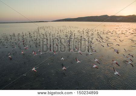 Flock of pink flamingos flying at sunset