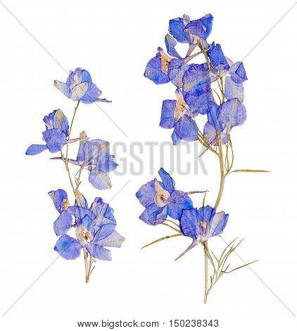 Herbarium of set dried pressed flowers blue delphinium isolated