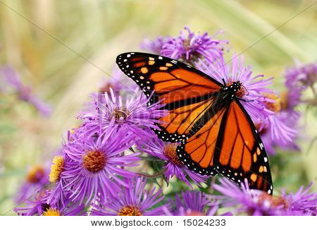 Beautiful Monarch butterfly feeding on purple asters.  Soft focus background
