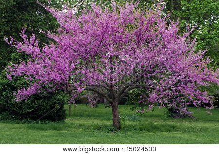 Eastern redbud tree in full bloom with sprinkling of wildflowers in the surrounding grass.