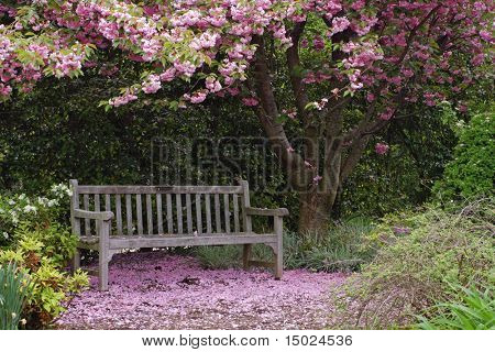 Empty park bench underneath a Kwanzan cherry tree in full bloom with fallen petals all around.