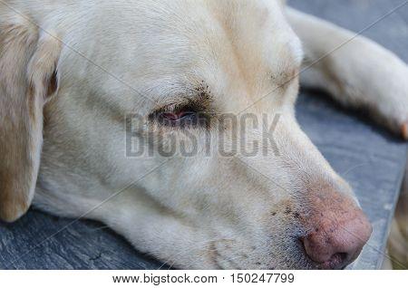 Detail Of Labrador Retriever Head