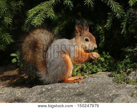 Red squirrel in natural forest environment fur turning grey in autumn