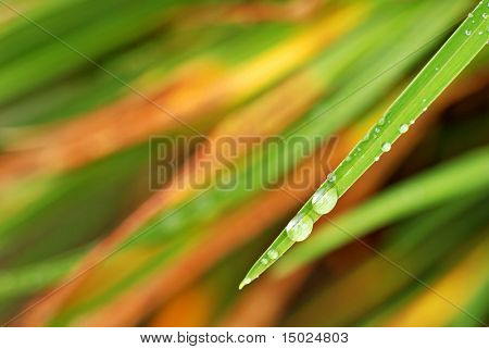 Single leaf of a daylily with raindrops in autumn.  Selective focus with extremely shallow dof.