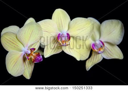 Yellow orchid flower isolated on black background close up