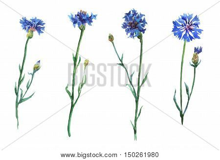 Blue cornflowers set. Watercolor hand painting illustration on isolate white background.