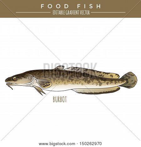 Burbot illustration. Marine food fish, editable gradient vector