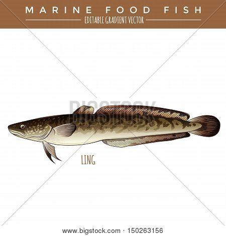 Ling illustration. Marine food fish, editable gradient vector