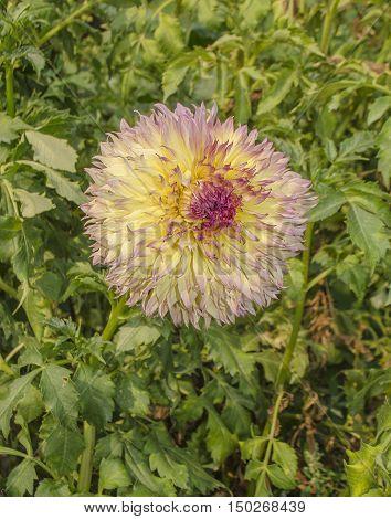 Closeup Of A Beautiful Dahlia Flower