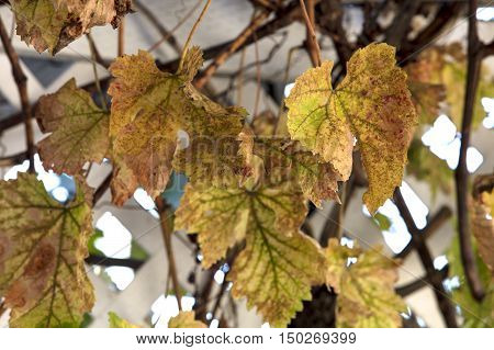 Grape leaves turning yellow orange and red as the fall season approaches