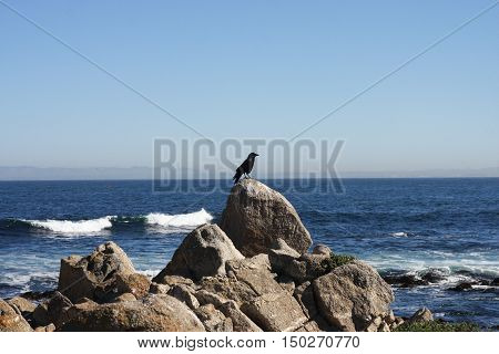 This is an image of a bird about to take flight from the rocky shore of Pacific Grove, California.