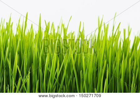 Nutritious homegrown Wheatgrass plants in studio with white background