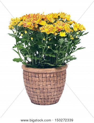 Fall mums flowers in clay pot separated on white background
