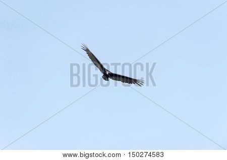 Head-on view of Turkey Vulture in flight