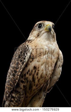 Close-up Bird Portrait Saker Falcon, Falco cherrug, isolated on Black background