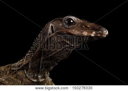 Close-up Varanus rudicollis Head Isolated on Black Background
