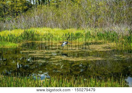 anhinga (snakebird) flying over grassy marsh swamps