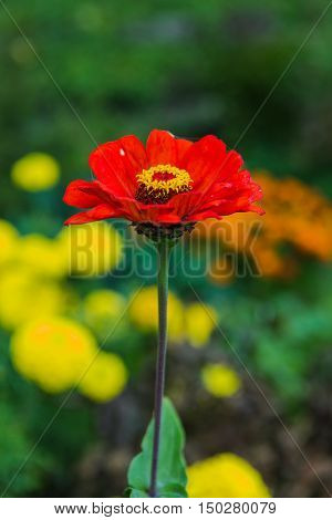 Gerbera Flower In The Garden