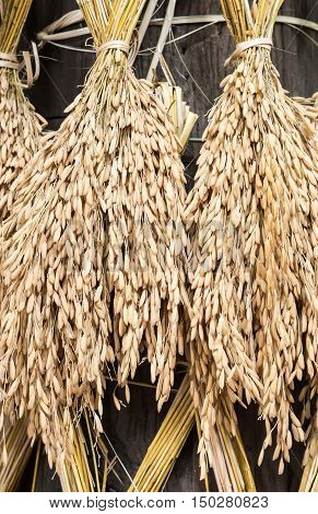 Dry spike rice is hanging around the wooden pillar of the farmer house. poster