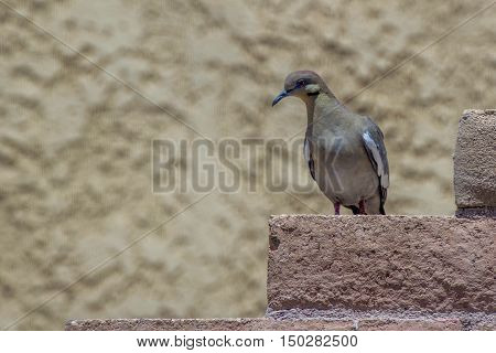 white winged dove sitting on a brick wall looking at the camera with neutral background