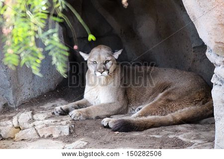 portrait of a mountain lion cougar puma panther in a cave looking at camera