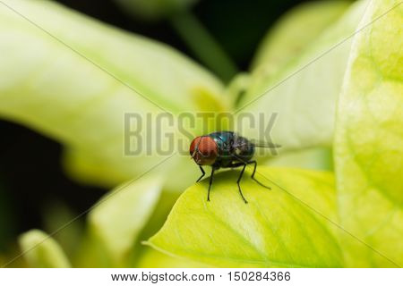 Alliphoridae Fly (blow-fly,