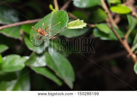 Insect red ant on leaf background .