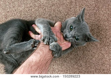 the grey cat aggressively biting the hand