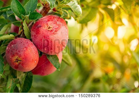 Apple tree with ready to pick red apples