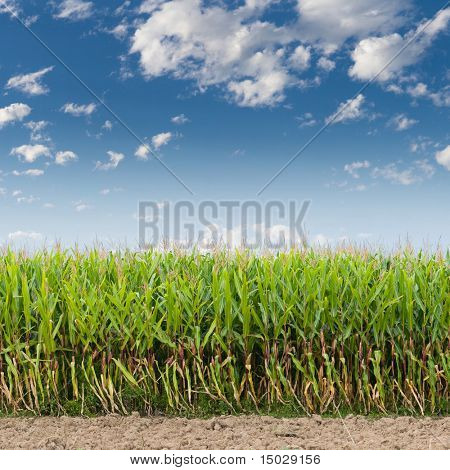 Cornfield against a blue sky