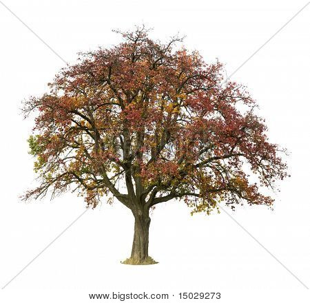 Apple Tree isolated against a white background