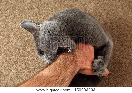 gray cat grabbed the hand claws and bites